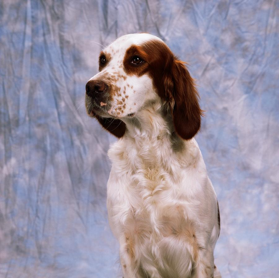 Drawn Irish Red and White Setter wallpaper