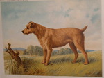 Drawn Irish Terrier Dog