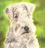 Drawn Lakeland Terrier dog