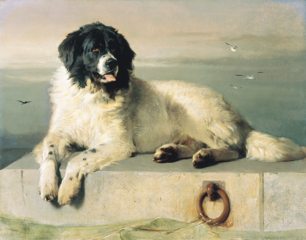 Drawn Landseer dog wallpaper