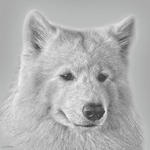 Drawn Samoyed