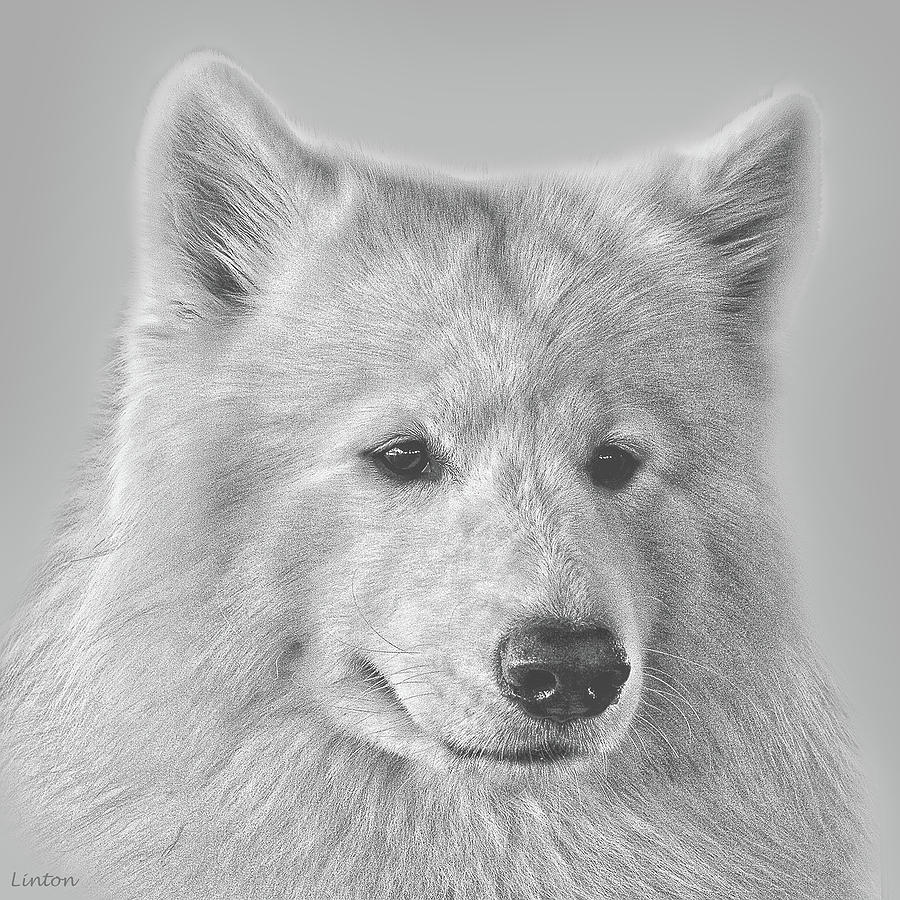 Drawn Samoyed wallpaper