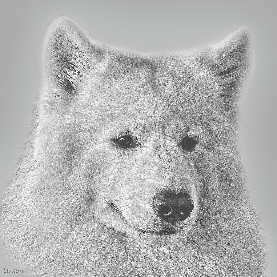 Портрет самоедской собаки фото