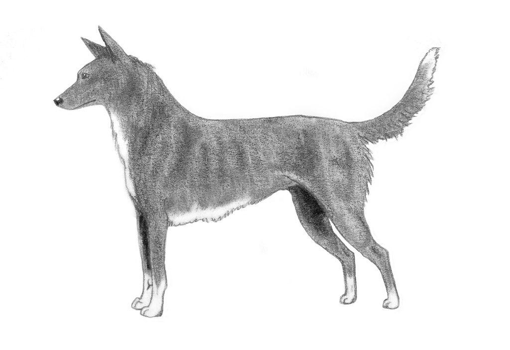 Drawn Tahltan Bear Dog  wallpaper