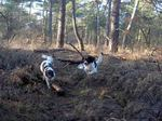 Drentse Patrijshond dogs