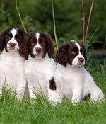 Drentse Patrijshond puppies on the grass