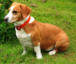Drever dog in a red collar