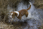 Drever dog in the water