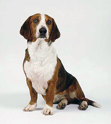 Drever dog portrait wallpaper