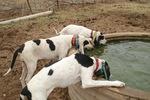 Drinking Gascon Saintongeois dogs