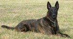 Dutch Shepherd Dog in the field