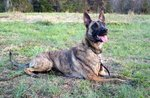 Dutch Shepherd Dog in the grass