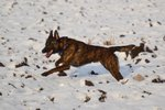 Dutch Shepherd Dog in the snow