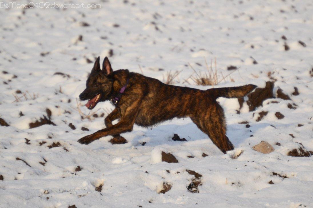 Dutch Shepherd Dog in the snow wallpaper