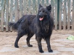 Dutch Shepherd Dog near the fence