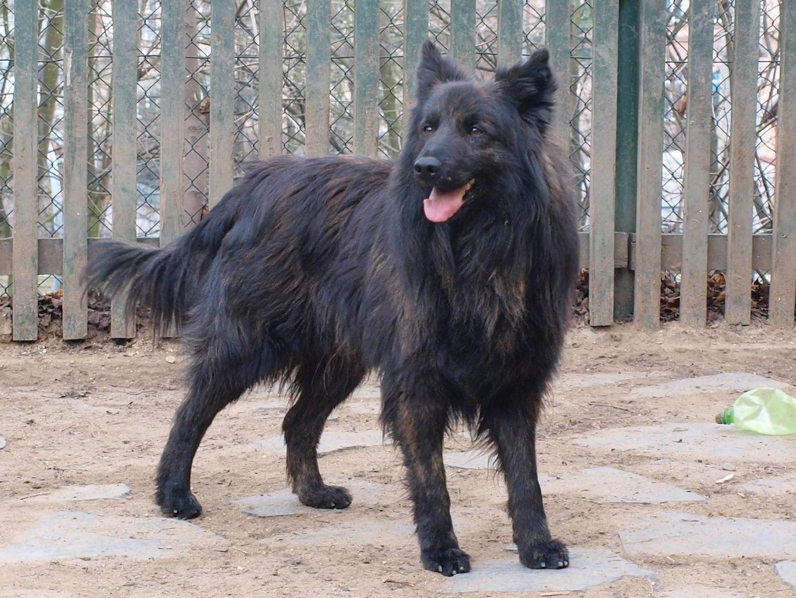 Dog near the fence photo and wallpaper. Beautiful Dutch Shepherd Dog ... Y Dog Names