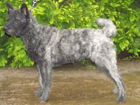 Dutch Shepherd Dog wallpaper