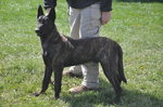 Dutch Shepherd Dog with the owner