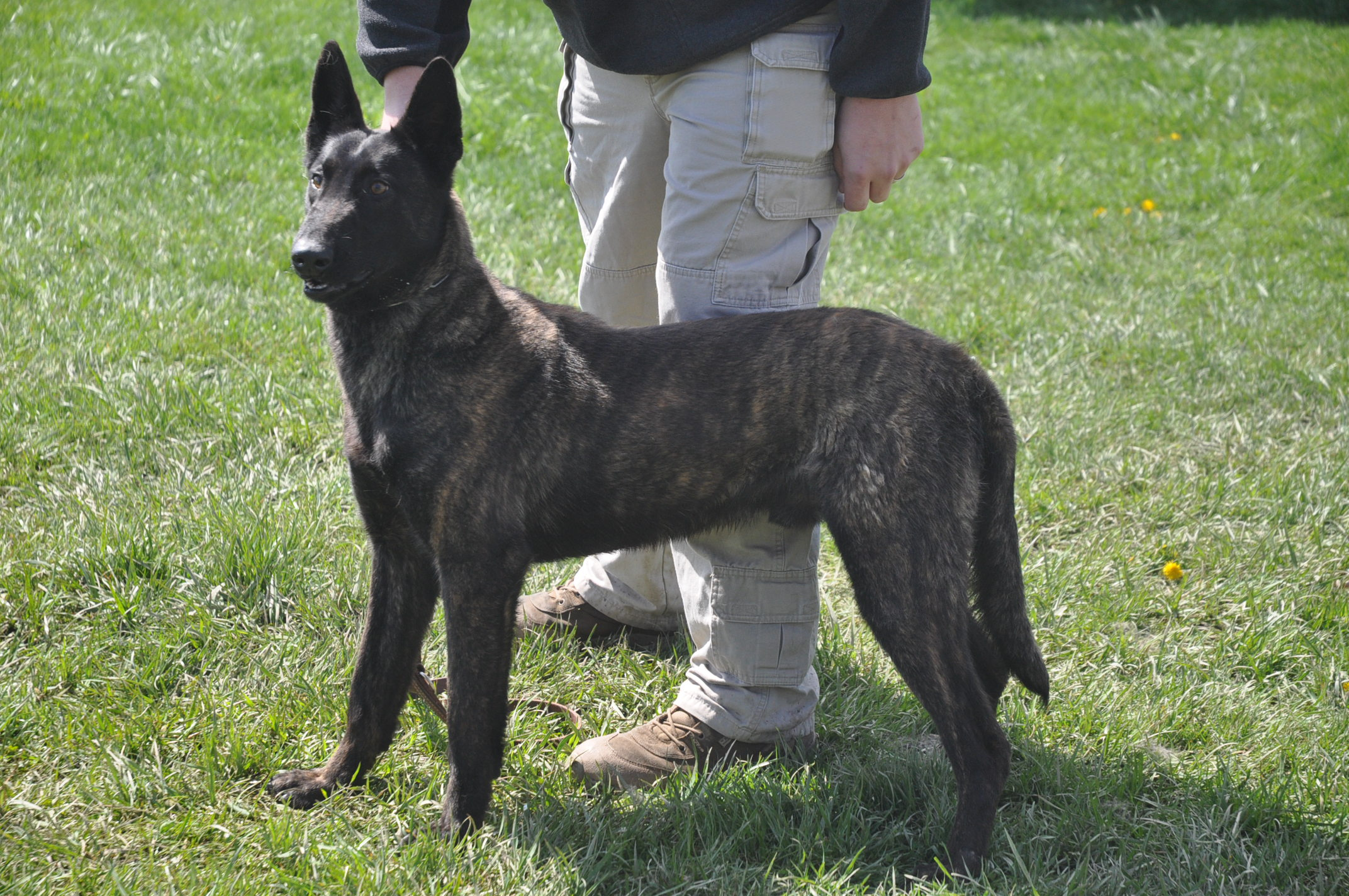 Dutch Shepherd Dog with the owner wallpaper