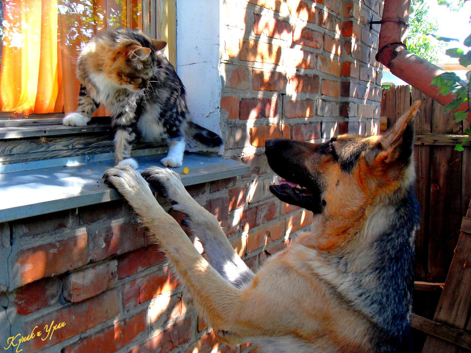 Восточноевропейская овчарка и кот фото
