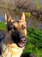 East-European Shepherd dog face