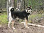 East Siberian Laika dog near the tree