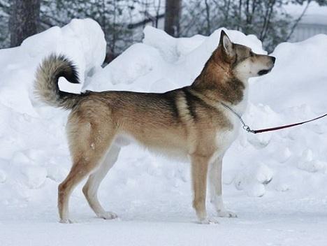 East Siberian Laika dog on the snow wallpaper