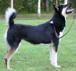 East Siberian Laika dog  side view