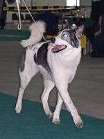 East Siberian Laika in the competitions