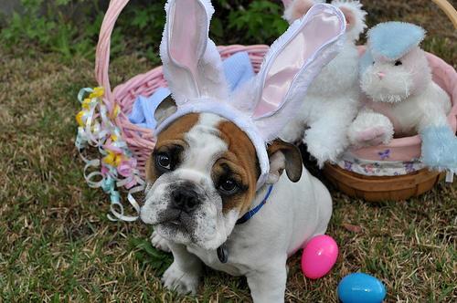 Easter Bulldog face wallpaper