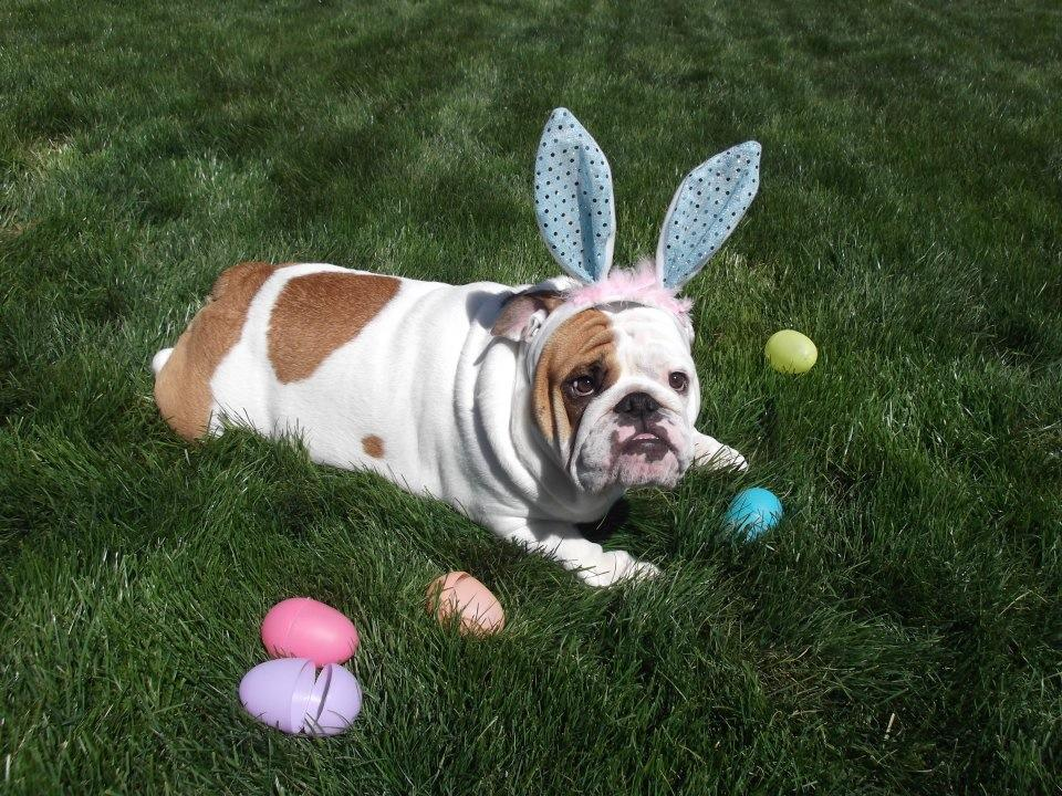 Easter Bulldog on the grass wallpaper