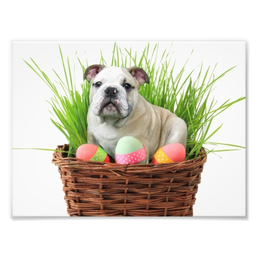 Easter Bulldog portrait фото