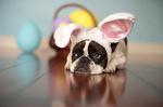 Easter Bulldog resting