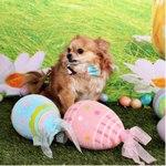 Easter Chihuahua