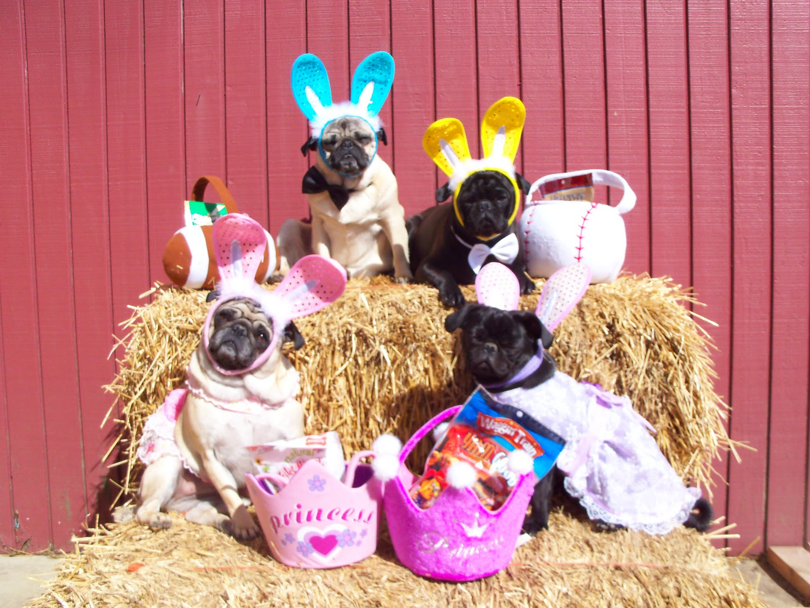 Easter Pug dogs wallpaper