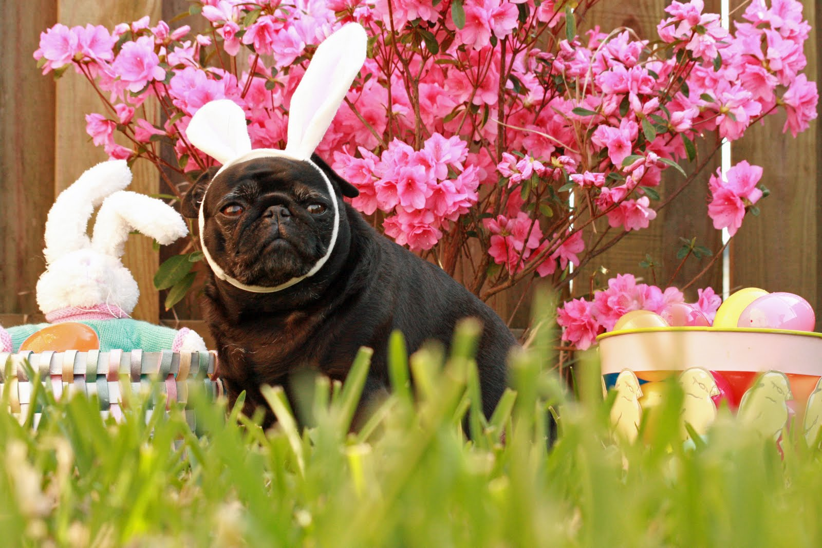 Easter Pug in the grass wallpaper