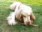 English Cocker Spaniel dog with a stick