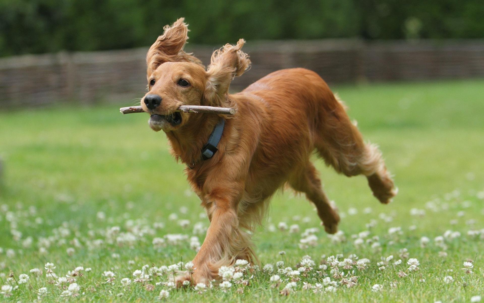 Английский кокер-спаниель бежит по полю фото