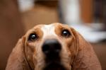 English Coonhound dog face