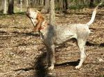 English Coonhound dog