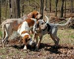 English Coonhound dogs in the forest