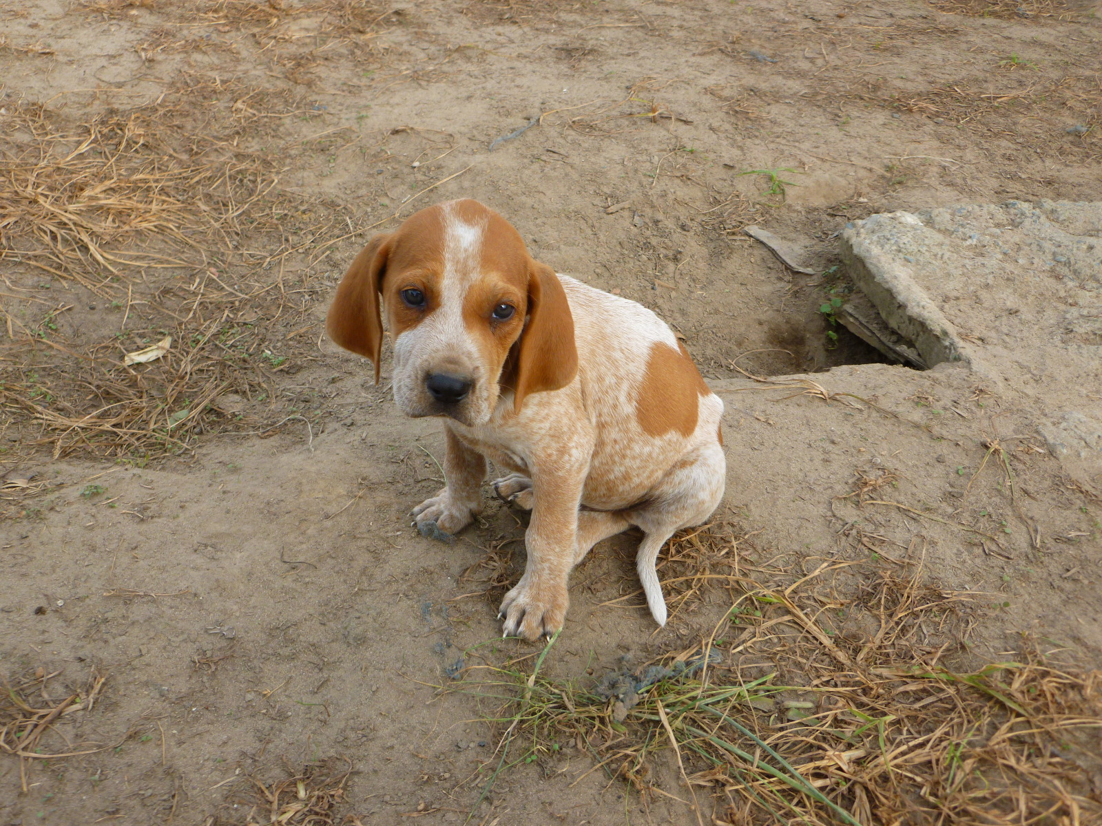 English Coonhound puppy wallpaper