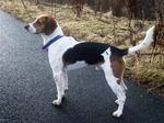 English Foxhound dog with a blue collar