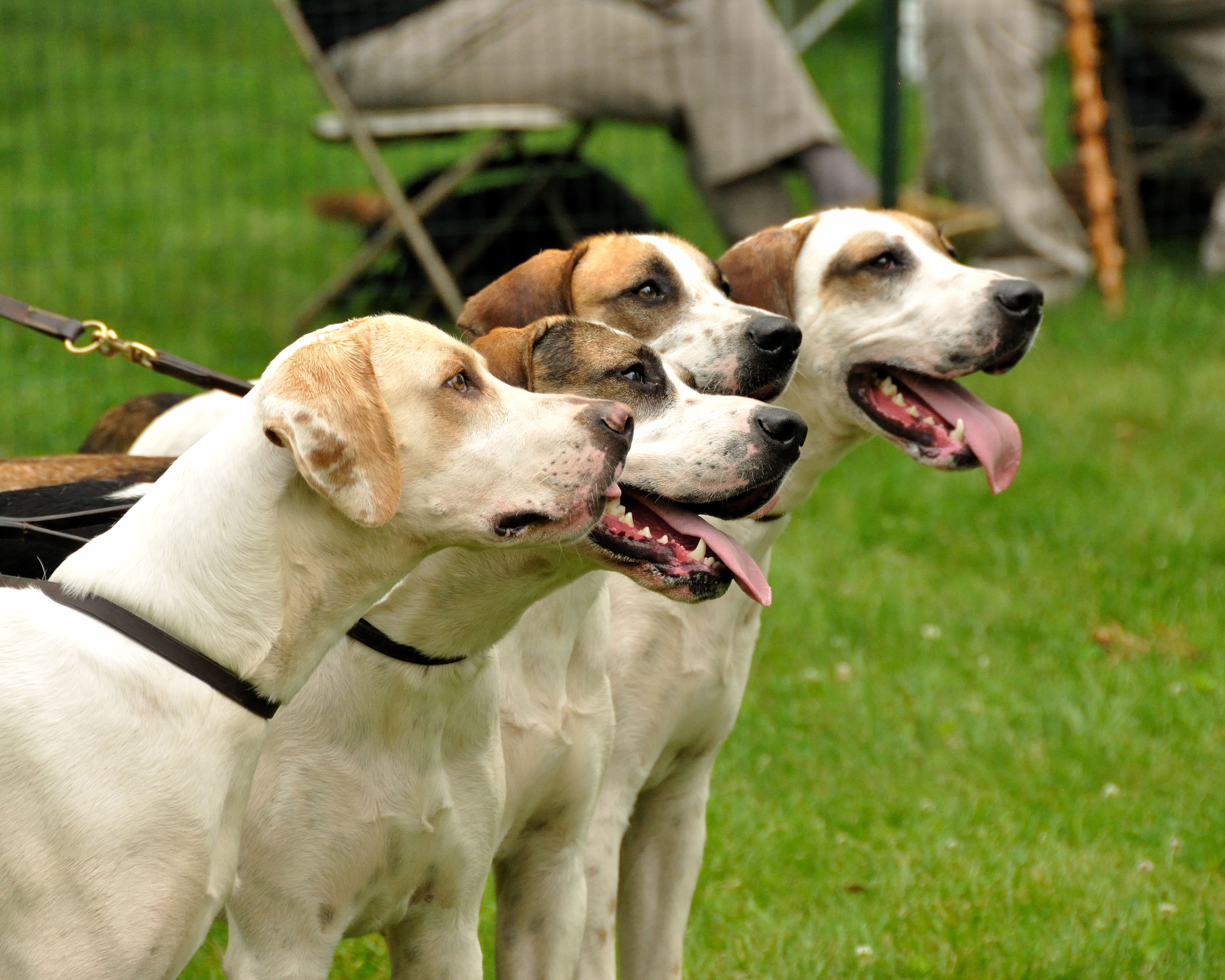 English Foxhound dogs wallpaper