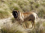 English Mastiff dog in nature