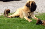 English Mastiff dog with a baby