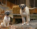 English Mastiff dogs in the farm