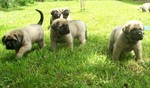 English Mastiff puppies for a walk