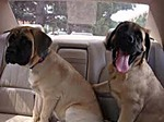 English Mastiff puppies in the car