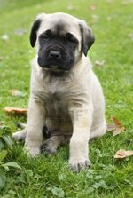 English Mastiff puppy on the grass